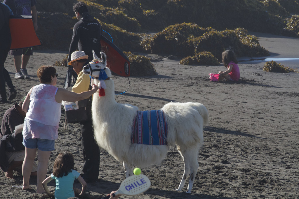 A Llama parading around the beach on Easter long weekend